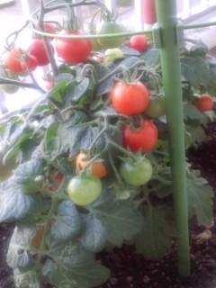 ミニトマトとゴーヤ☆