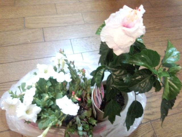 今日我が家にやって来た ハイビスカス他お花達☆
