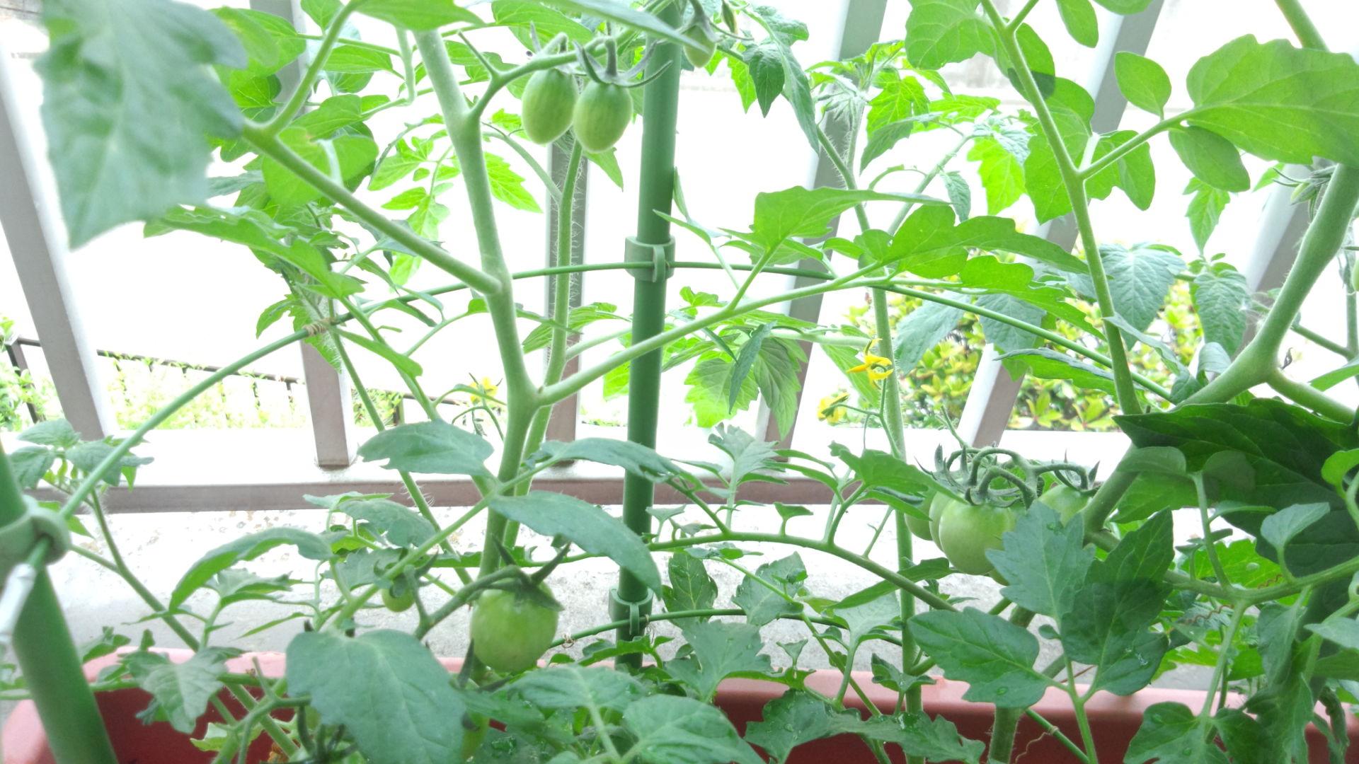 家庭菜園・今日のトマト☆