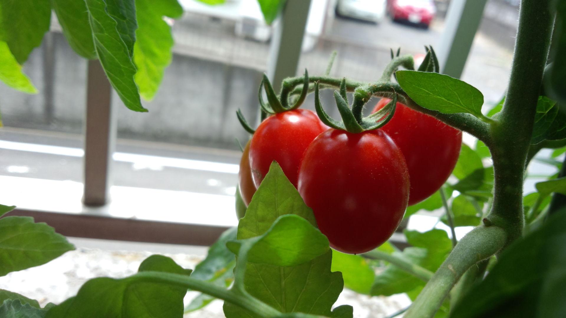 家庭菜園・トマト☆